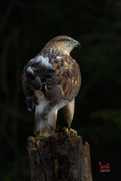 Ferruginous Hawk in sweet light photographed by Jeff Wendorff