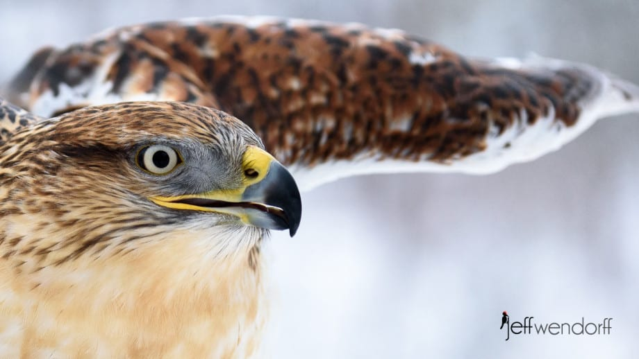 Ferruginous Hawk up close photographed by Jeff Wendorff