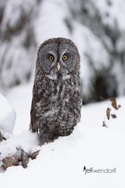 Great Gray Owl in the snow photographed by Jeff Wendorff