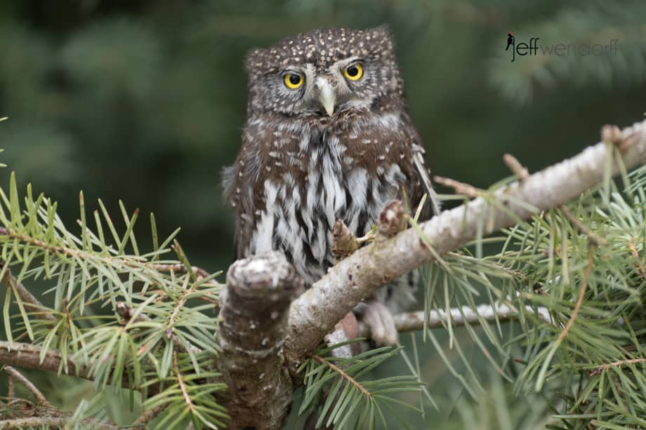 Northern Pygmy-Owl showing some attitude for a diminutive owl photographed by Jeff Wendorff