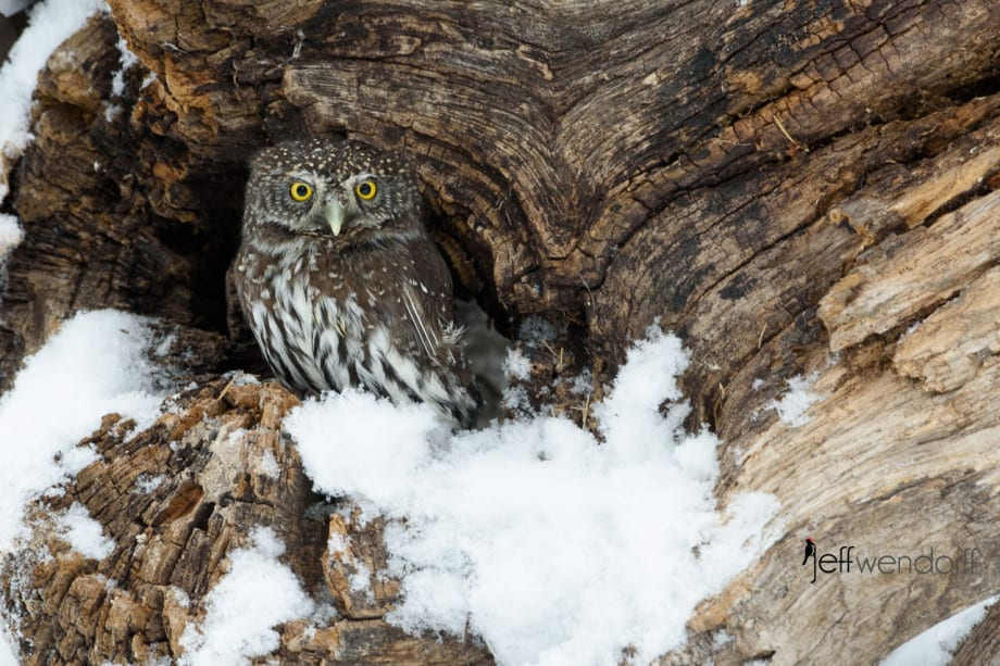 Northern Pygmy-Owl in a hollow log photographed by Jeff Wendorff