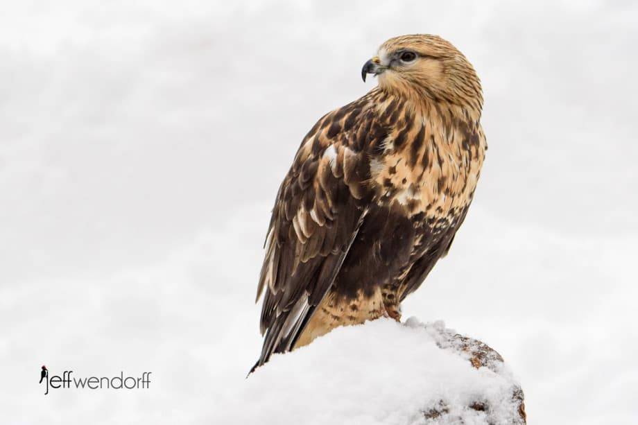 Rough-legged Hawk scanning the snow banks photographed by Jeff Wendorff