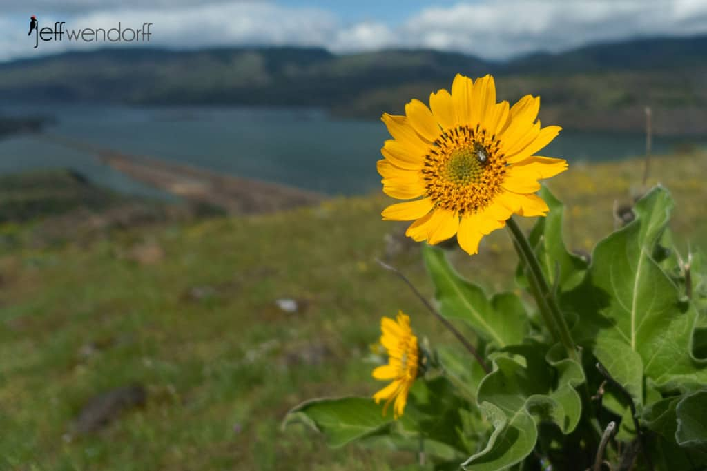 Northwest Balsamroot, Balsamhoriza deltoidea at the Rowena Plateau photographed by Jeff Wendorff