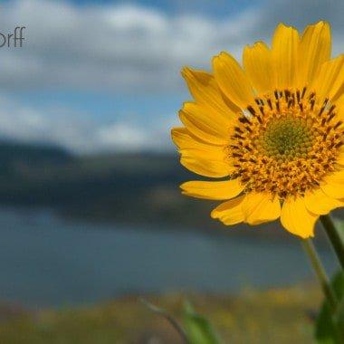 Oregon Wildflowers – Rowena Plateau