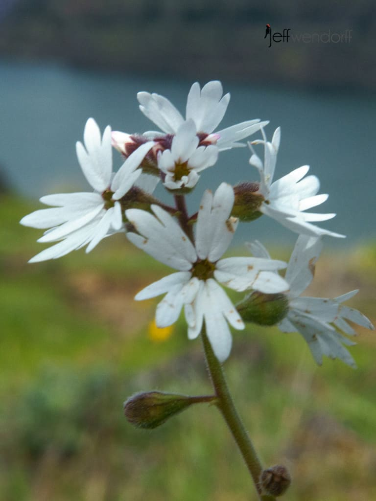 mooth Prairie Star, Lithophragma glabrum at the Rowena Plateau photographed by Jeff Wendorff