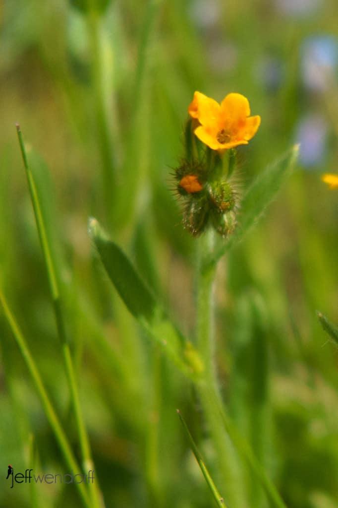 Small-flowered Fiddleneck, Amsinckia menziesiiat the Rowena Plateau photographed by Jeff Wendorff