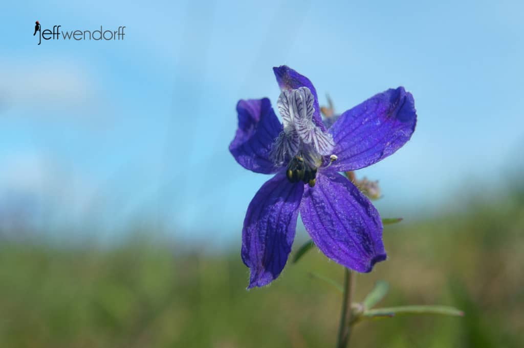 Upland Larkspur, Delphinium nuttallianum at the Rowena Plateau photographed by Jeff Wendorff
