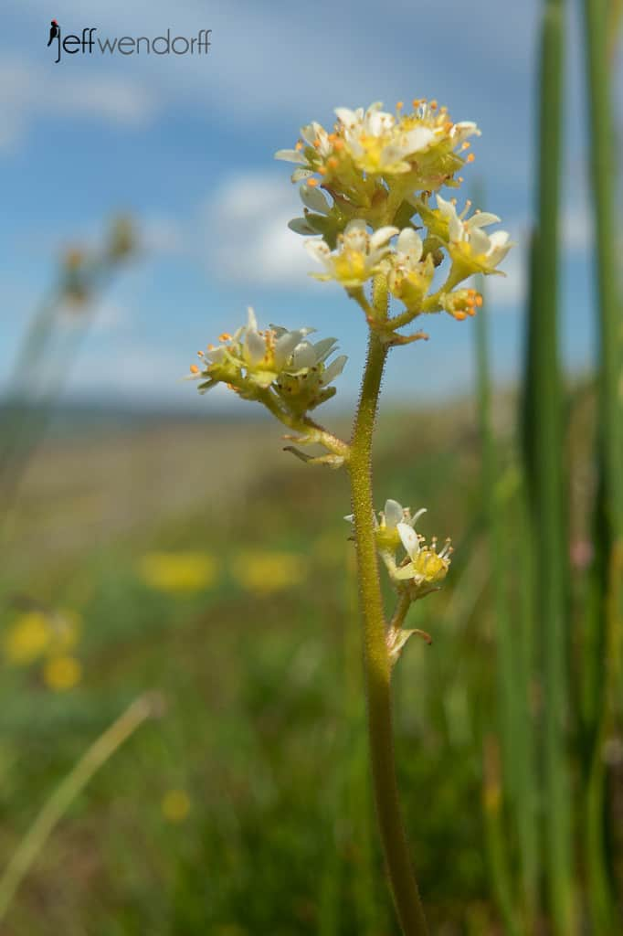 Northwestern Saxifrage, Saxifraga integrifolia at the Rowena Plateau photographed by Jeff Wendorff