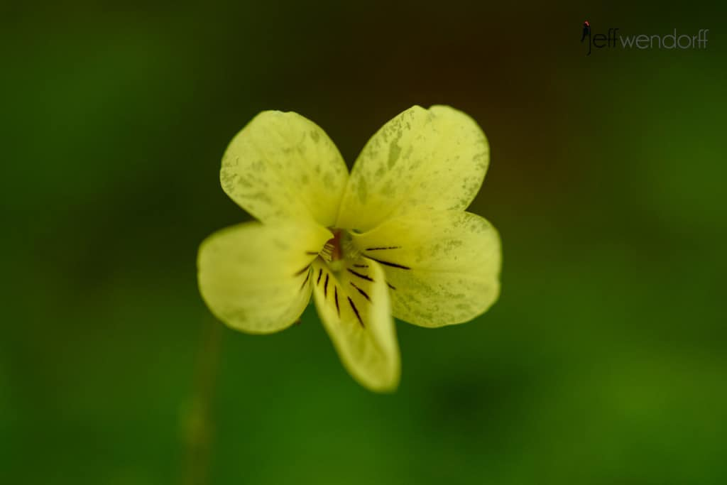Roundleaf Violet, Viola orbiculataan Oregon Wildflower macro image on Eagle Creek Trail photographed by Jeff Wendorff