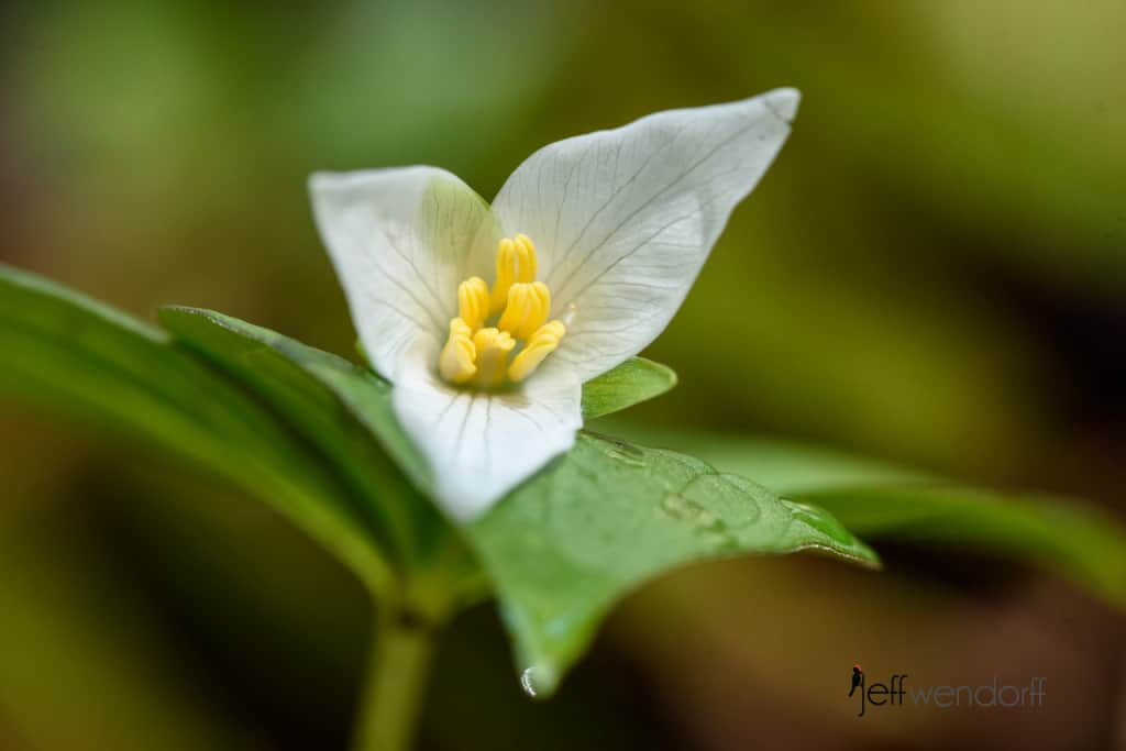 Western Trillium, Trillium ovatuman Oregon Wildflower macro image on Eagle Creek Trail photographed by Jeff Wendorff