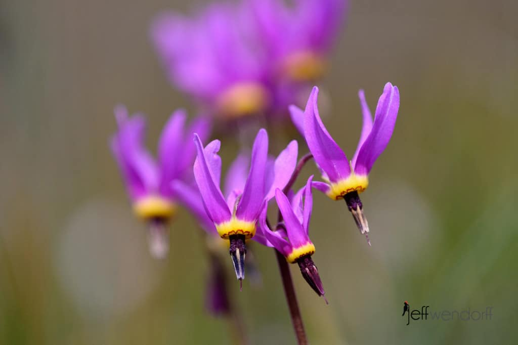 Poet's Shooting Star, Dodecatheon poeticum photographed at Catherine's Creek by Jeff Wendorff