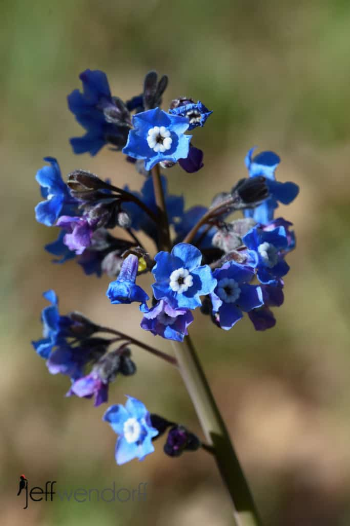 Pacific Hound's Tongue, Cynoglossum grande at Catherine's Creek photographed by Jeff Wendorff