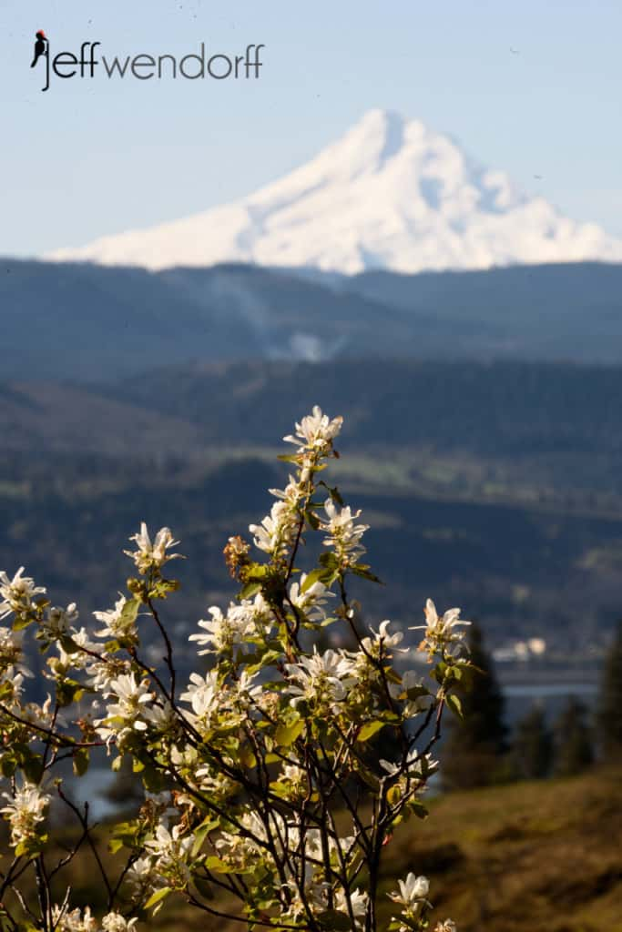 Serviceberry with Mt. Hood in the background at Catherine's Creek photographed by Jeff Wendorff