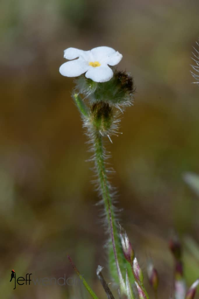 Slender Popcorn Flower, Plagiobothrys tenellus at Catherine's Creek photographed by Jeff Wendorff