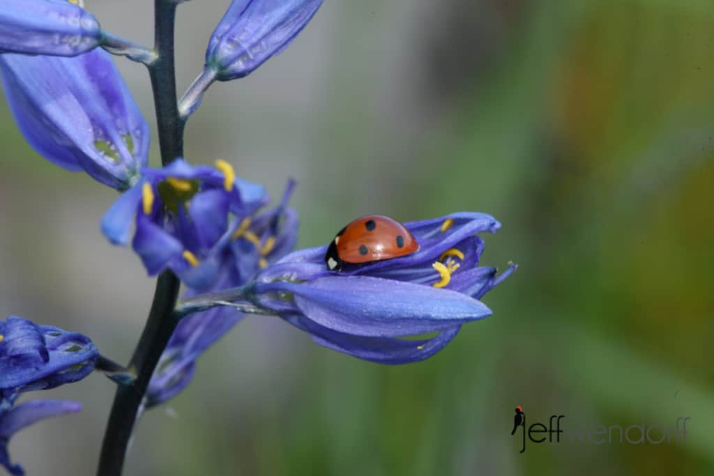 Common Camas with a ladybug on the flower at Catherine's Creek photographed by Jeff Wendorff