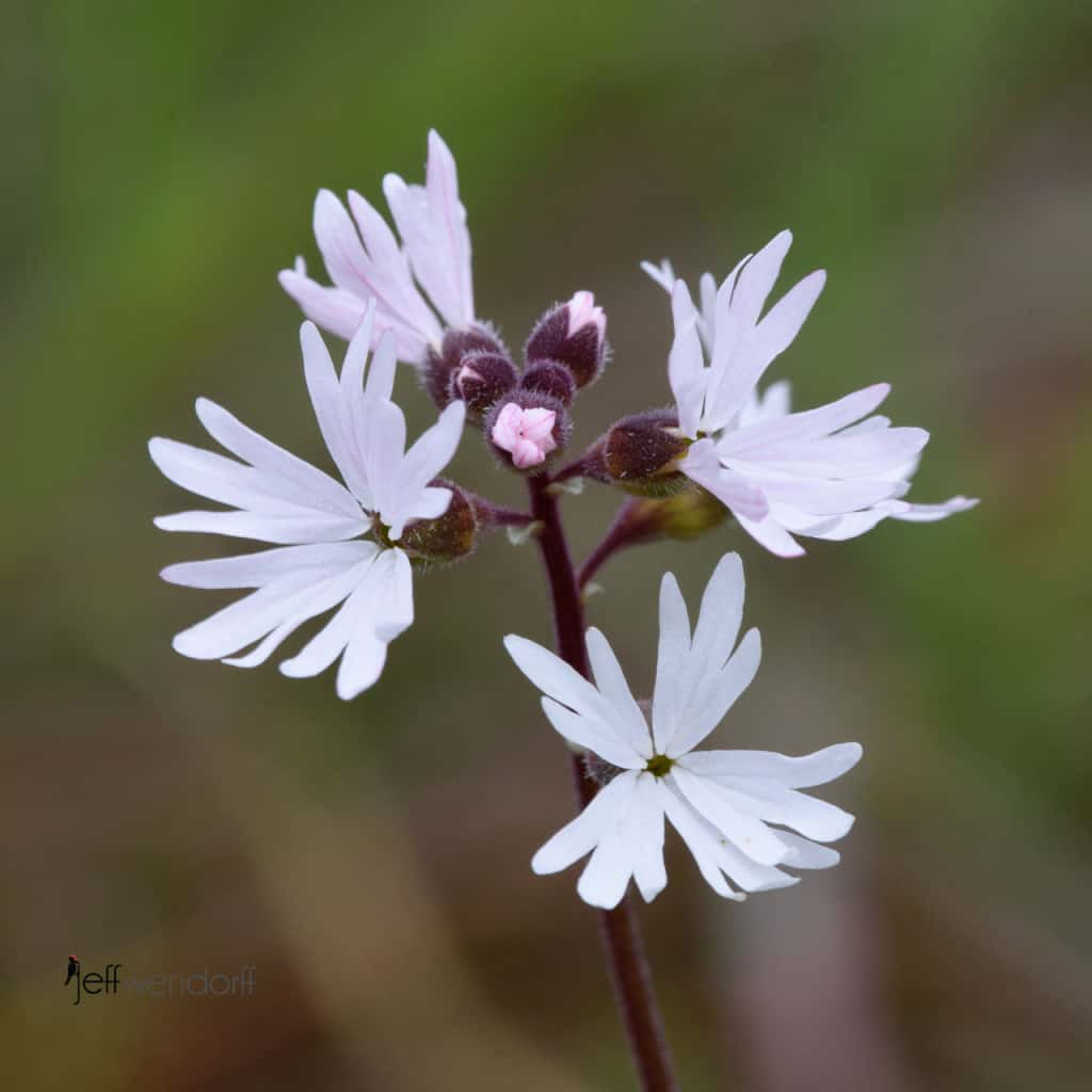 Smooth Prairie Star, Lithophragma glabrum photographed at Catherine's Creek by Jeff Wendorff