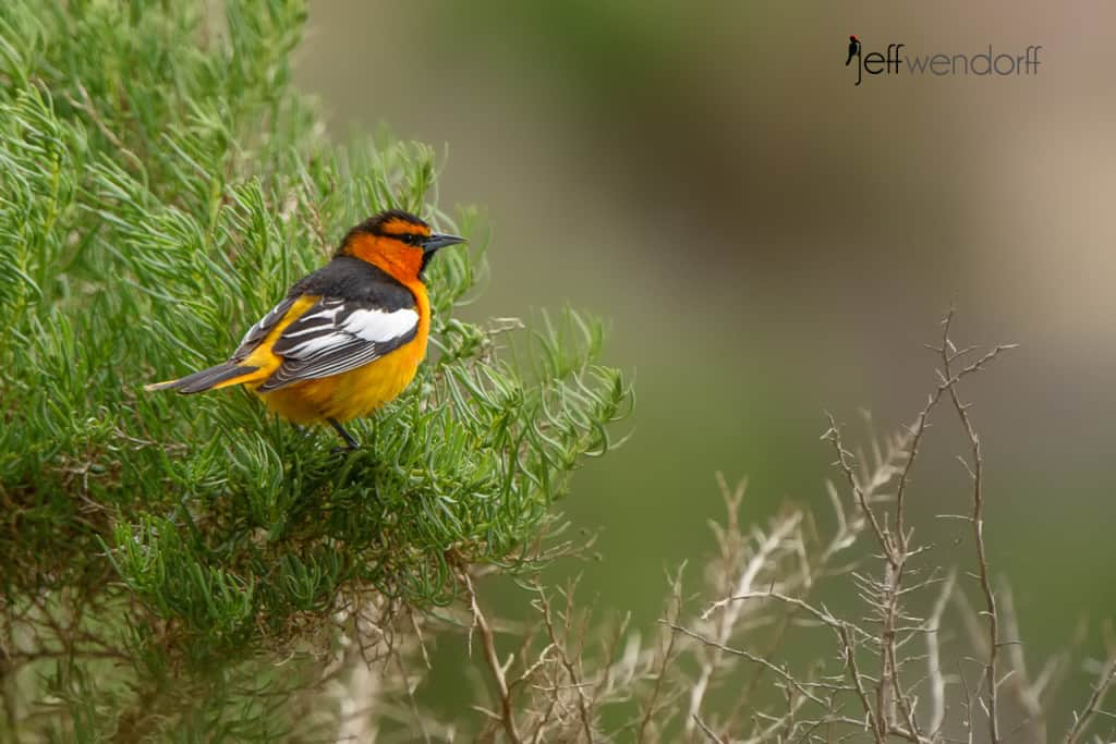 Bullock's Oriole, Icterus bullockii photographed by Jeff Wendorff at the Painted Hills