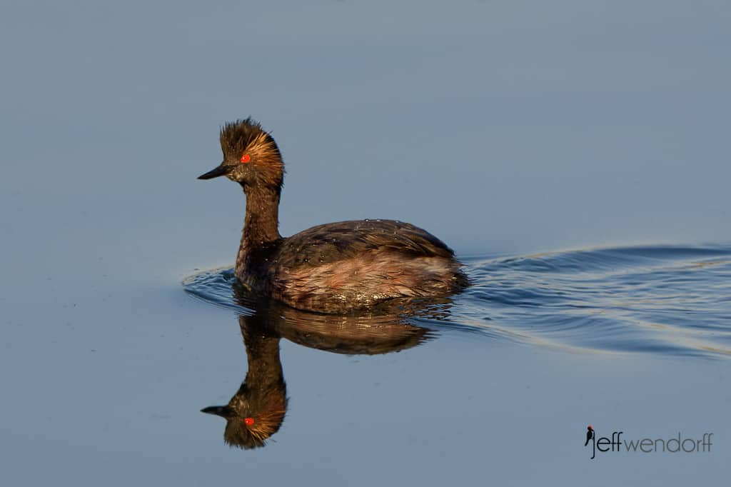 Eared Grebe reflection photographed by Jeff Wendorff