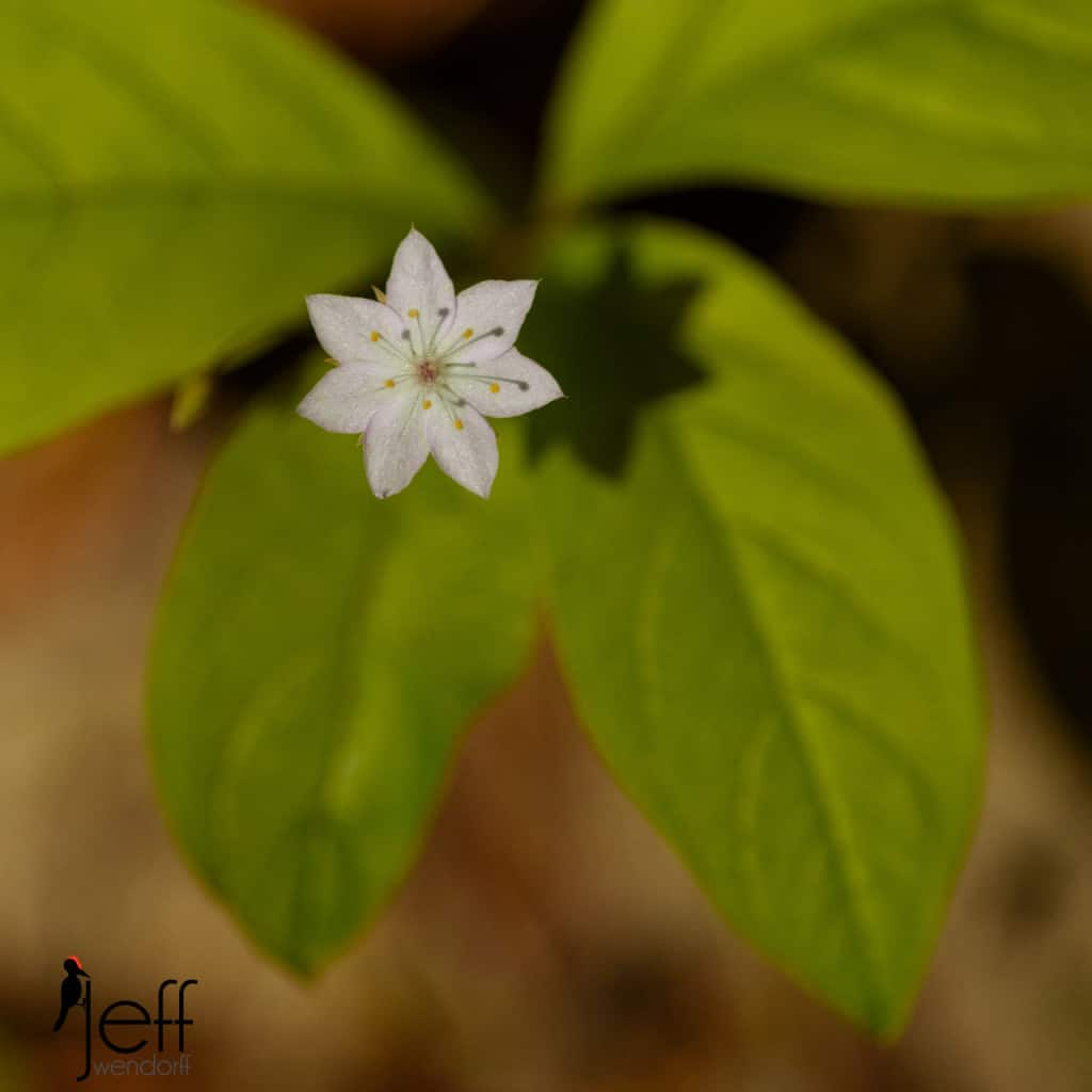 Pacific Starflower, Trientalis borealis ssp. latifolia photographed by Jeff Wendorff