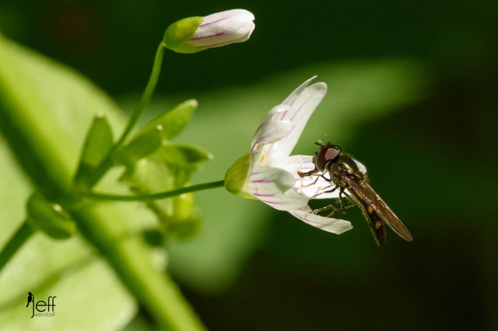 Candy Flower, Claytonia sibirica and Flower Fly Syrphidae