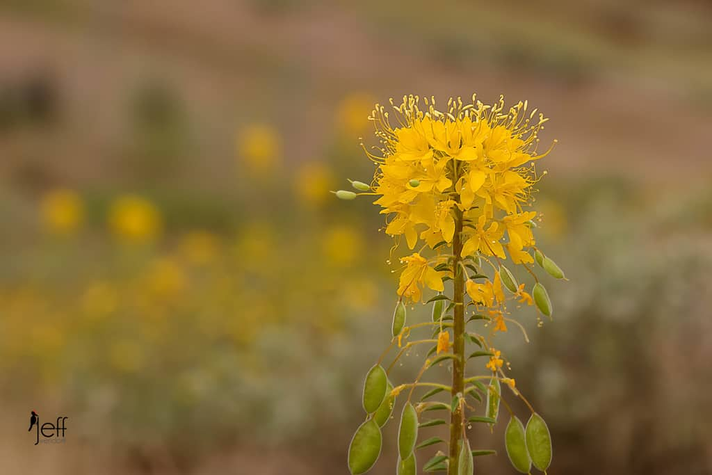 a field of Golden Bee Plants photographed by Jeff Wendorff