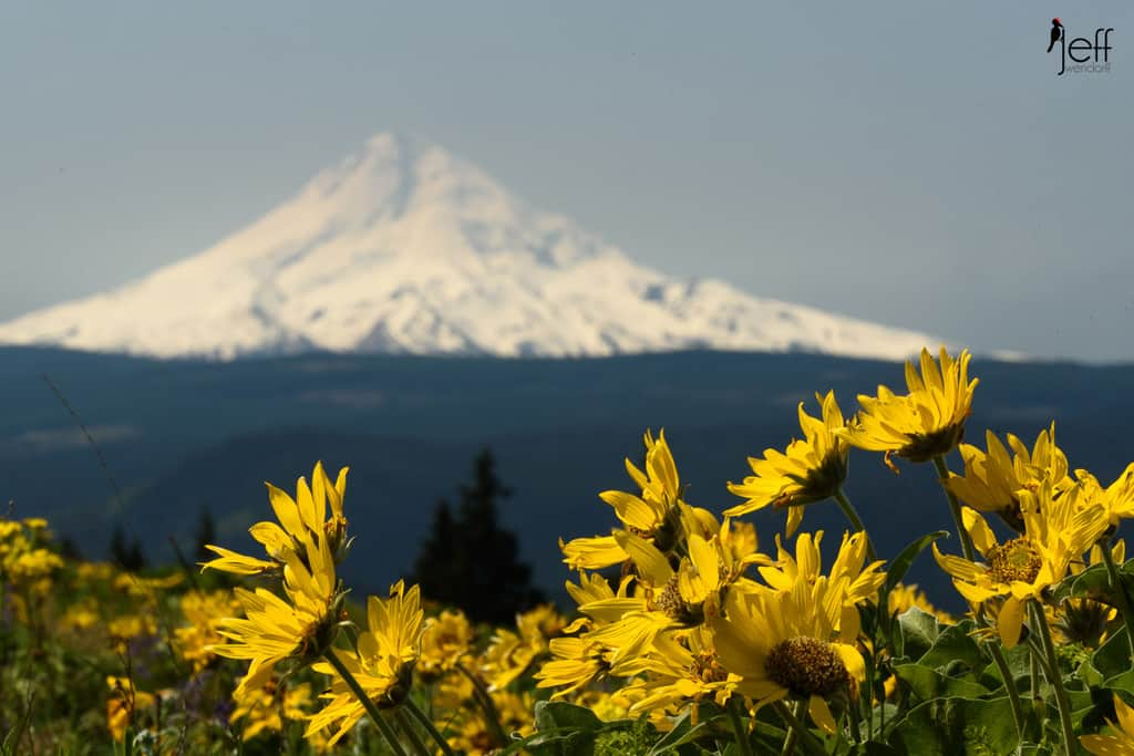 Balsamroot and Mt. Hood at Tom McCall Point photographed by Jeff Wendorff