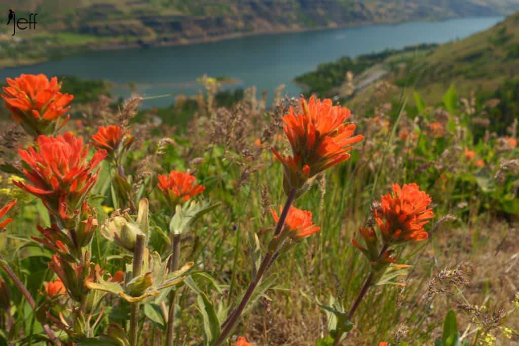 Harsh Paintbrush, Castilleja hispida over the Columbia Gorge from McCall Point Trail photographed by Jeff Wendorff