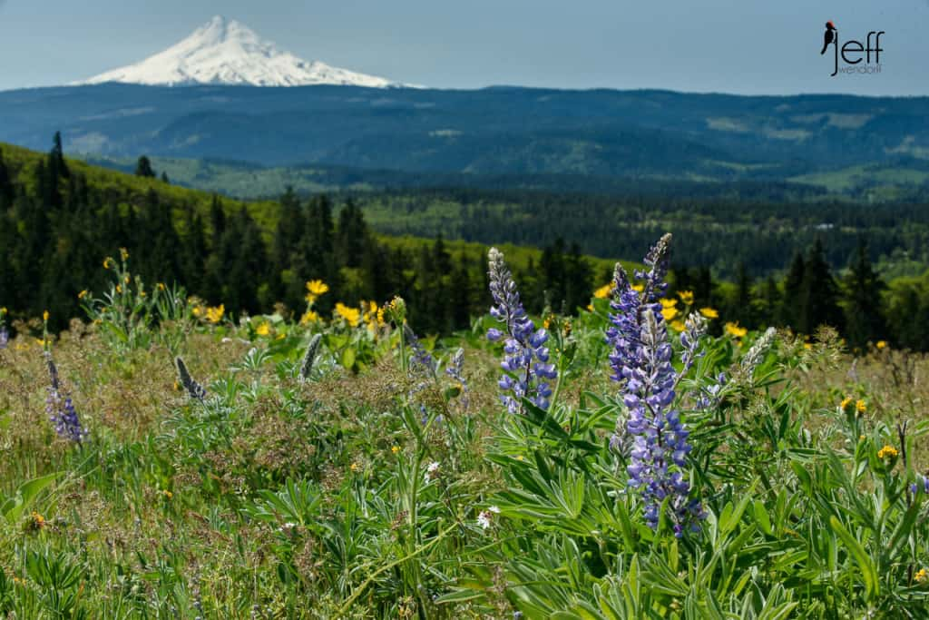 Wildflowers and Mt. Hood from Tom McCall Point photographed by Jeff Wendorff