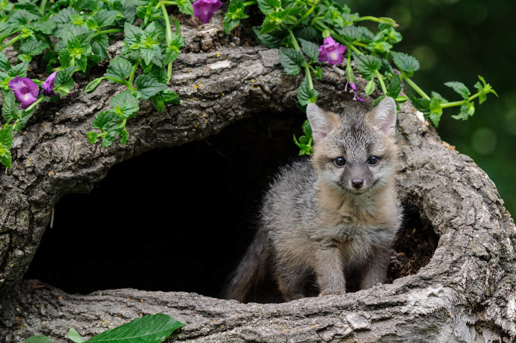 Gray Fox, Urocyon cinereoargenteus kit photographed at Baby Wildlife Photography Workshop by Jeff Wendorff