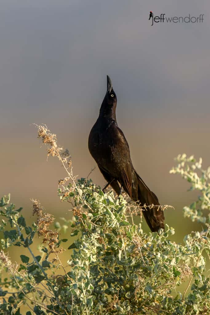 Great-tailed Grackle, Quiscalus mexicanus courtship display photographed by Jeff Wendorff at Henderson Bird Preserve