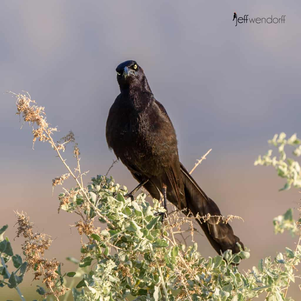 Inquistive Great-tailed Grackle, Quiscalus mexicanus photographed by Jeff Wendorff