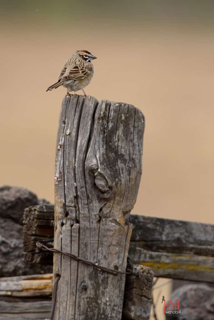 Lark Sparrow, Chondestes grammacu photographed by Jeff Wendorff