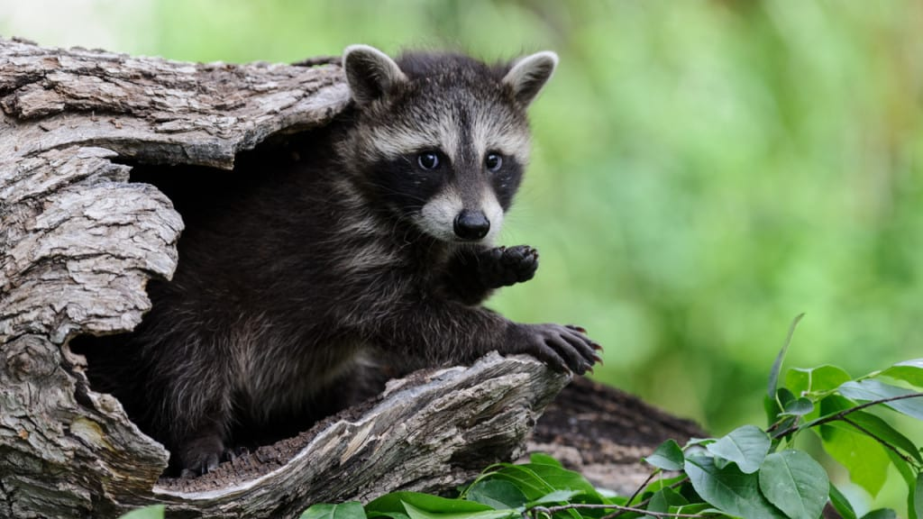 A baby raccoon from the Baby Wildlife Photography Workshop photographed by Jeff Wendorff