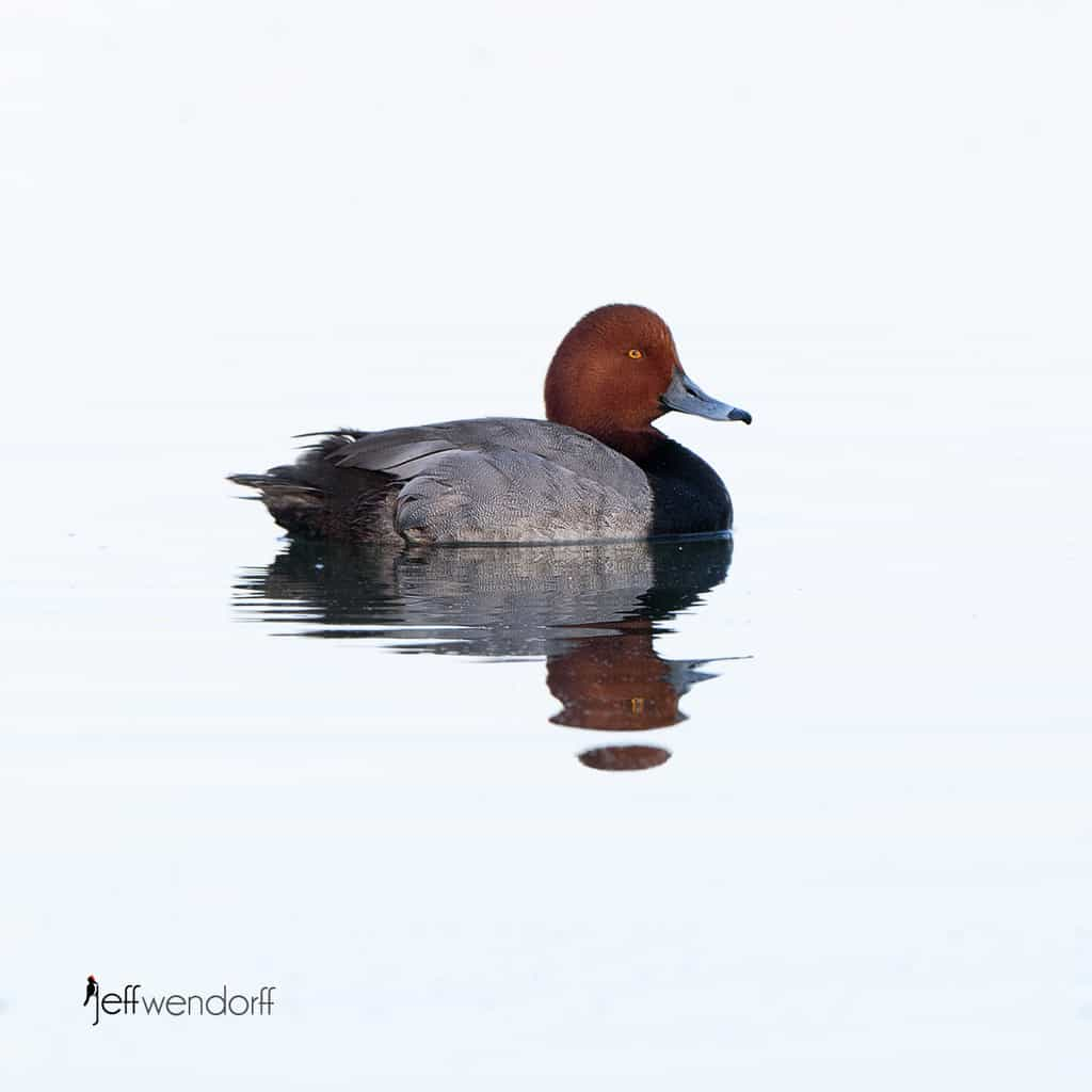 High-key photograph of a Redhead duck photographed by Jeff Wendorff