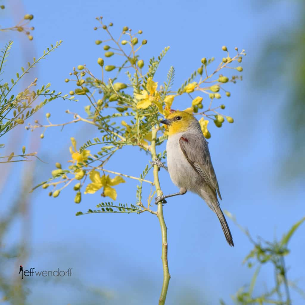 Verdin, Auriparus flaviceps in a Blue Palo Verde (Cercidium floridum) tree photographed by Jeff Wendorff at Henderson Bird Preserve