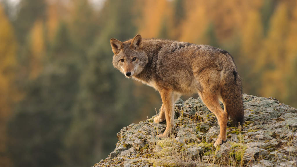 Coyote from Fall Wildlife Photography Workshop with Jeff Wendorff