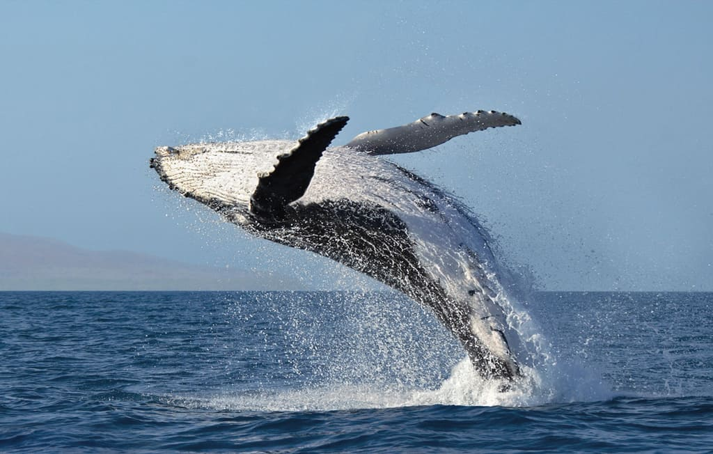 Whale breaching on Whales and More photography Workshop by Jeff Wendorff