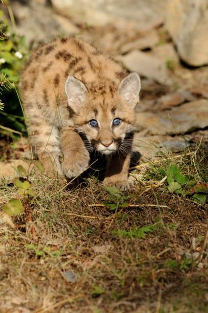 Mt. Lion Kitten - Fall Wildlife Photography Workshop by Jeff Wendorff