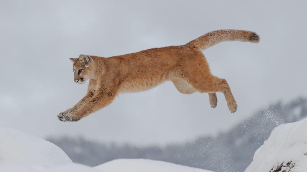 Leaping Mt. Lion - Winter Wildlife Workshop by Jeff Wendorff