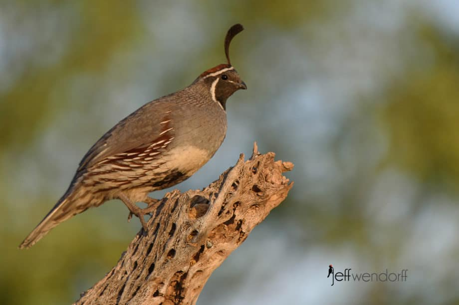 Gambel's Quail - Male perched on a cactus skeleton by Jeff Wendorff