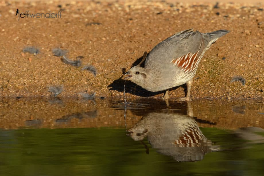 Gambel's Quail with falling water drops and reflection by Jeff Wendorff