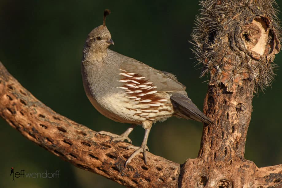Female Gambel's Quail, Callipepla gambelii by Jeff wendorff