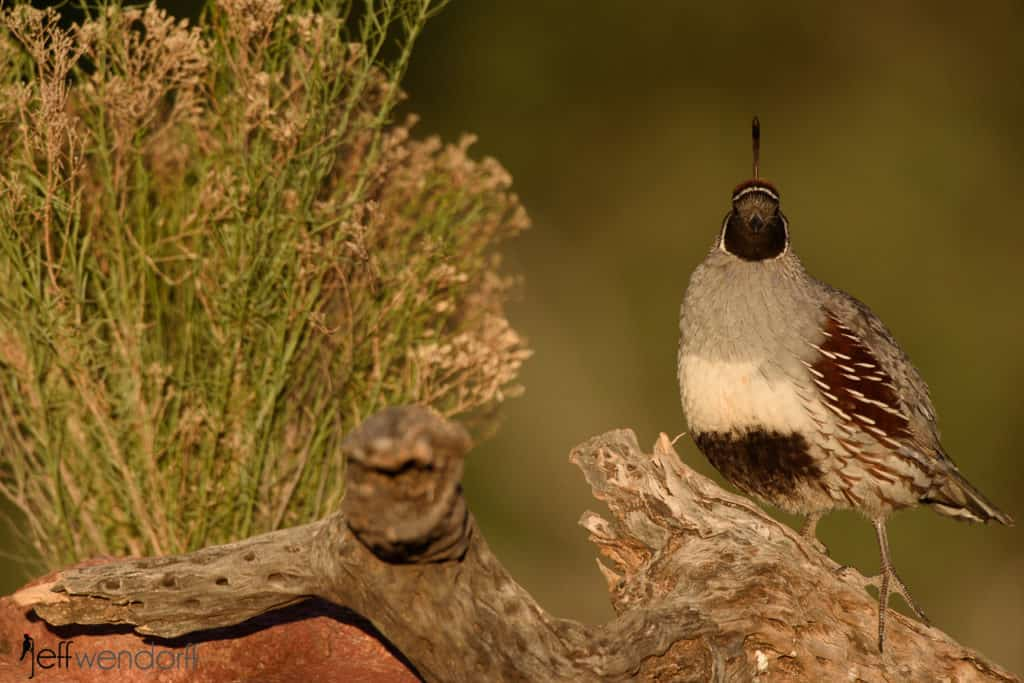 Gambel's Quail and sagebrush by Jeff Wendorff