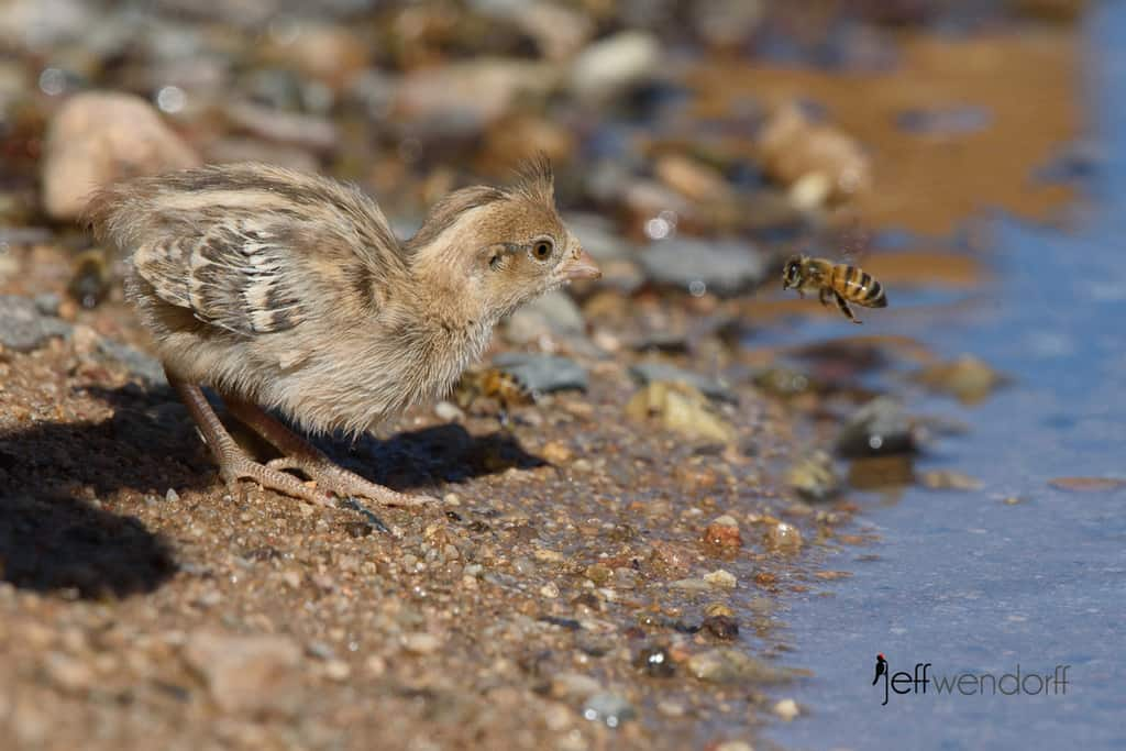The baby and the bee, Gambel's Quail and honeybee.