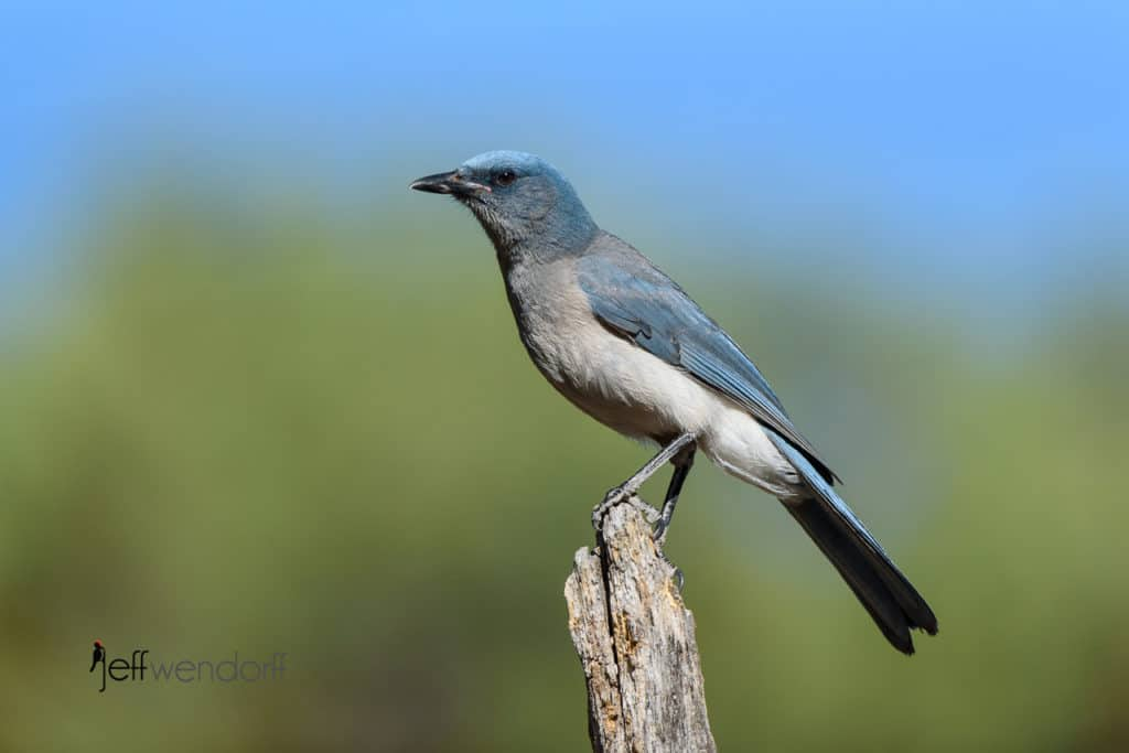 Mexican Jay surveying the scene by Jeff Wendorff