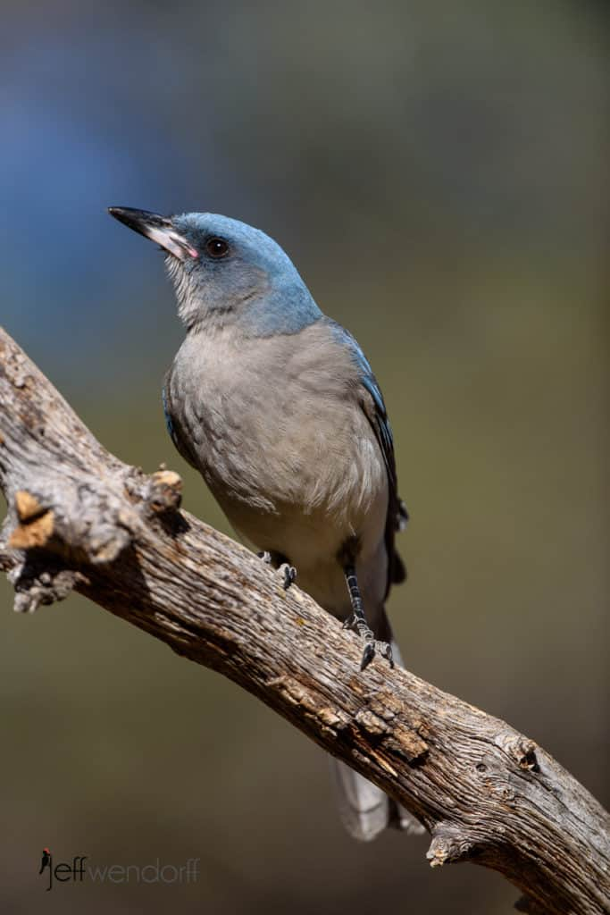 Mexican Jay on a tree branch photographed by Jeff Wendorff