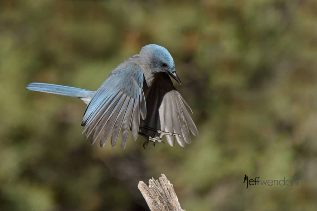 Mexican Jay coming in to land photo by Jeff Wendorff