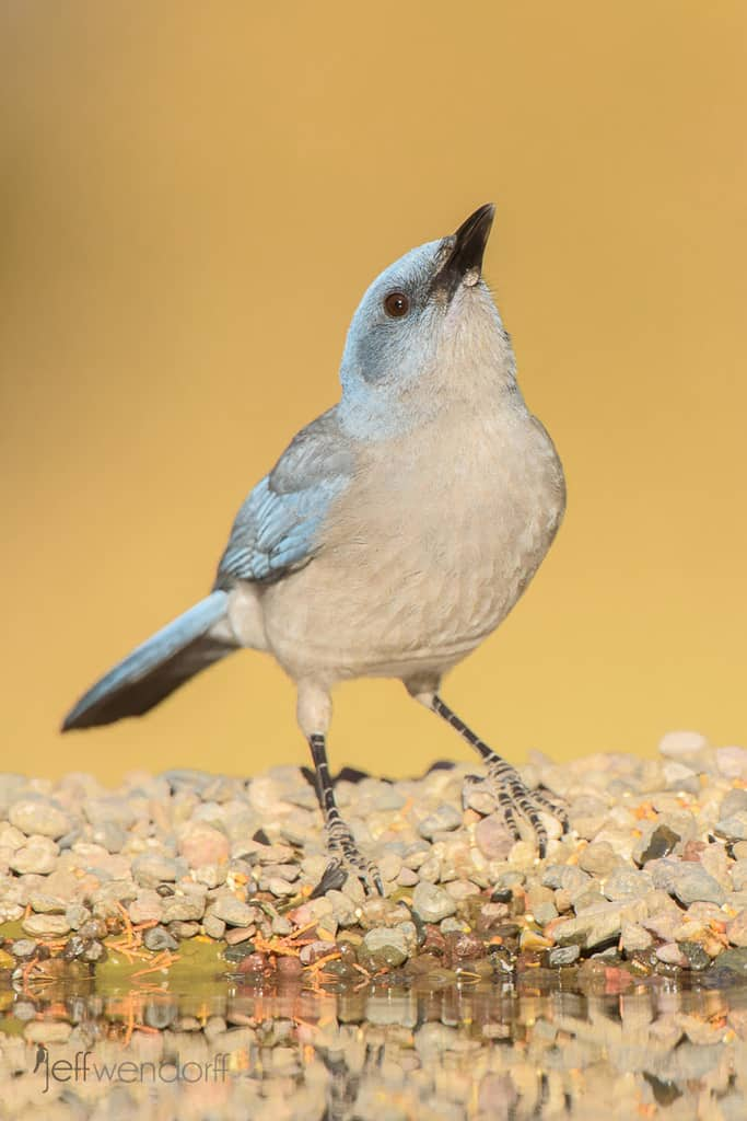 Mexican Jay Photos