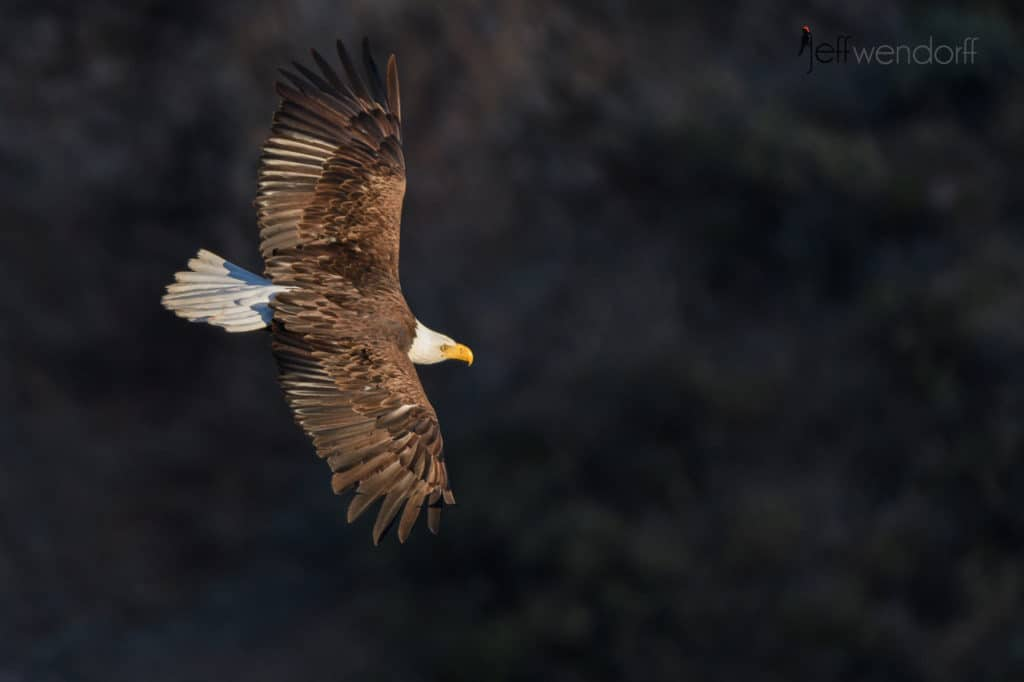 Smith Rock Oregon – Bald Eagles