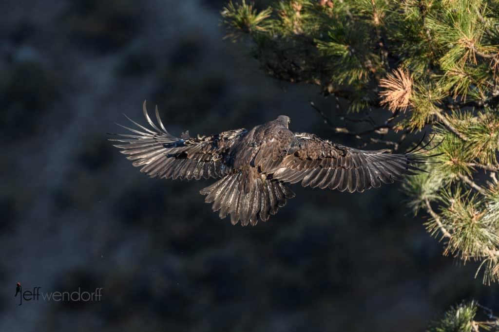 Juvenile Bald Eagle flying back to the nest. A unique top down view by Jeff Wendorff